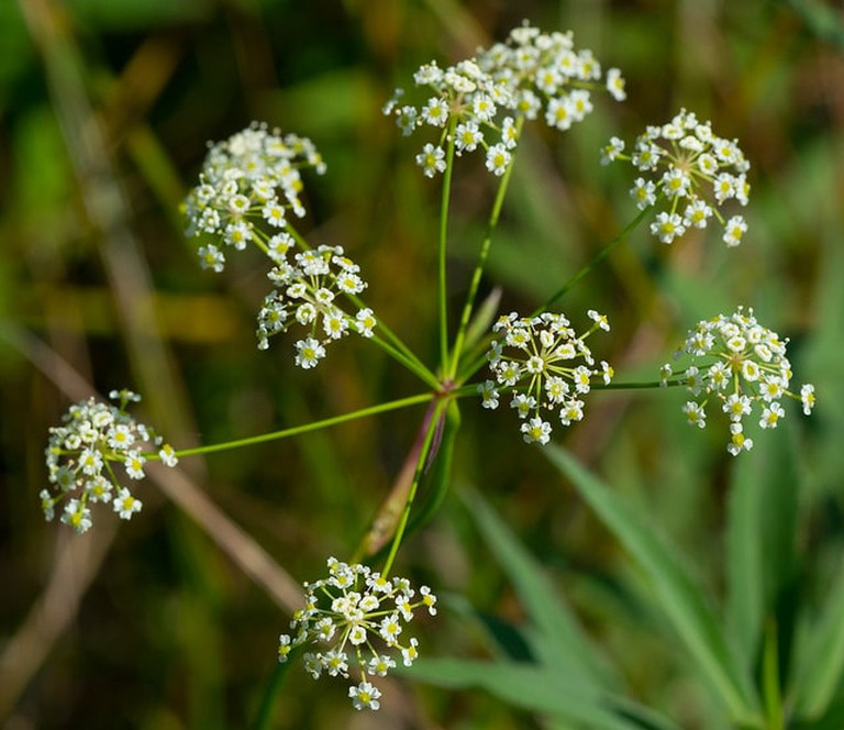 Spotted Water Hemlock | <a href=