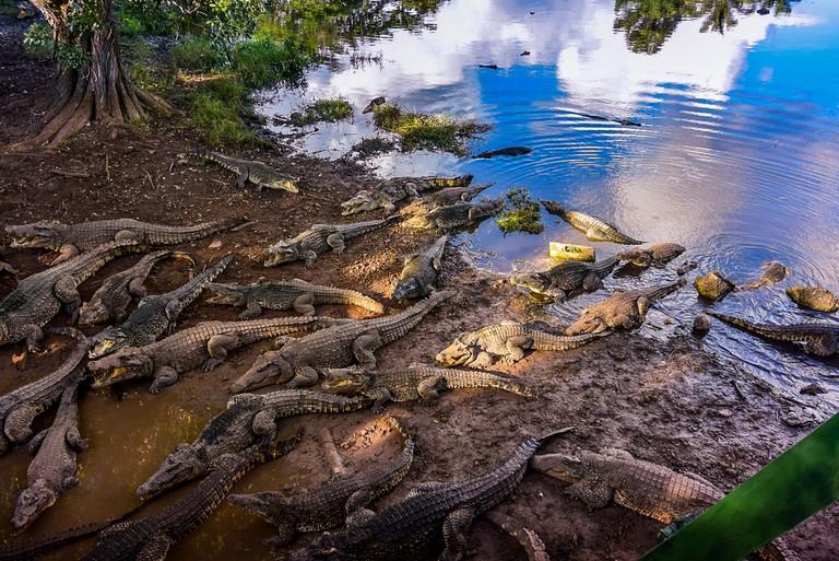 Cuban crocodile farm
