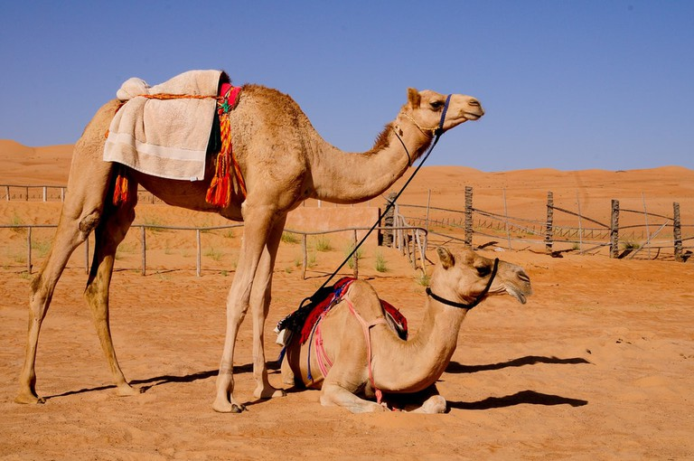 Camels in Al Wahiba Sands