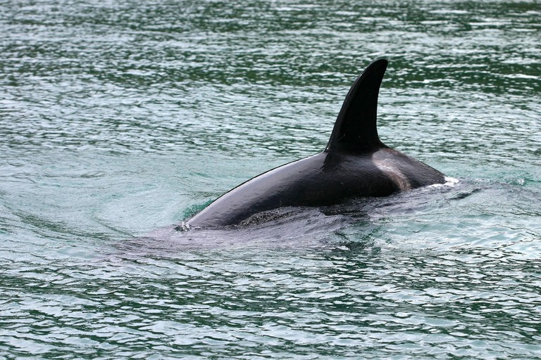 Orca spotted in Northland, New Zealand
