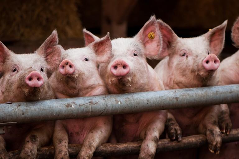 pigs livestock meat industry pork