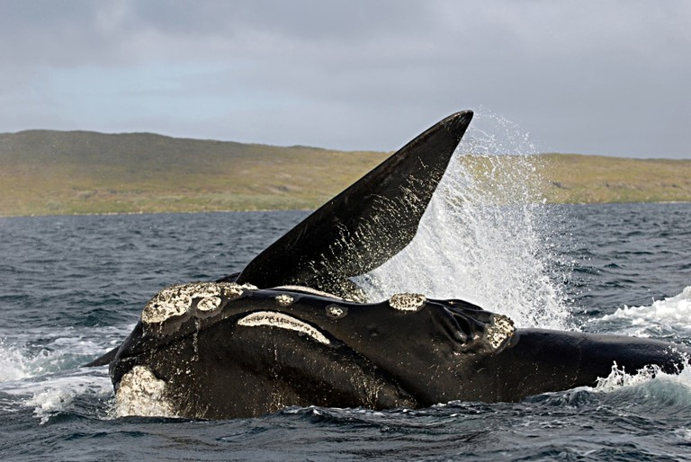 Southern right whale in New Zealand