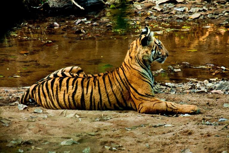 7.tiger_periyar_