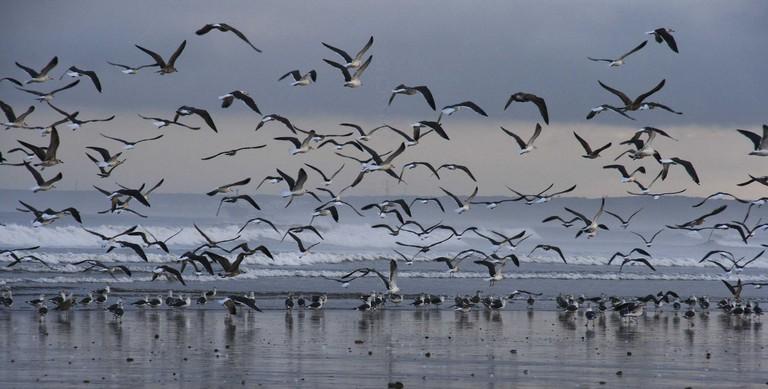 Ocean birds at Oualidia, Morocco