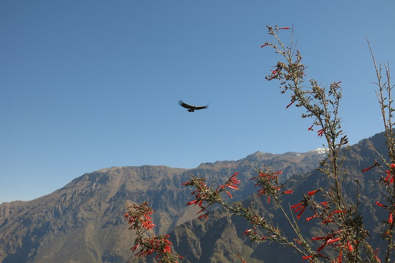 andean-condor-2656045_1280