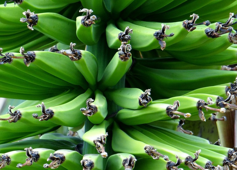 Green bananas are used in a salad