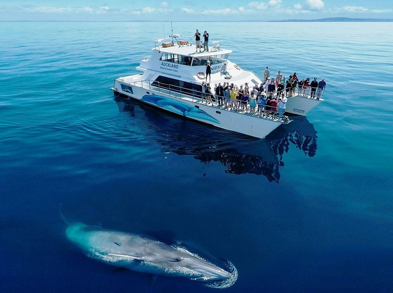 Bryde's Whale viewed from Auckland Whale & Dolphin Safari's research vessel in the Hauraki Gulf Marine Park