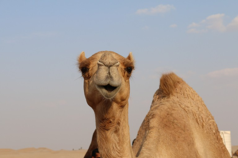 camel-2756363_1920