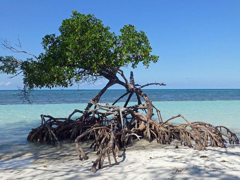 Cayo Jutías mangrove