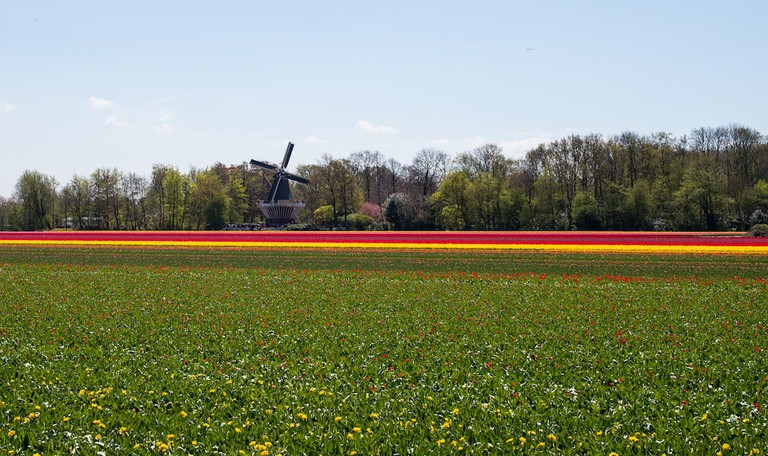 Tulips take over the land