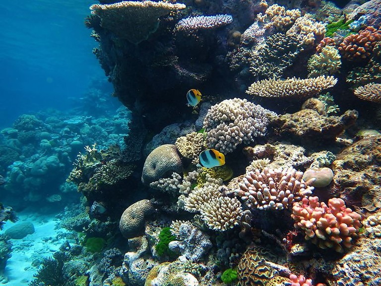 Professor Harrison developed an IVF-style procedure meant to help the Great Barrier Reef