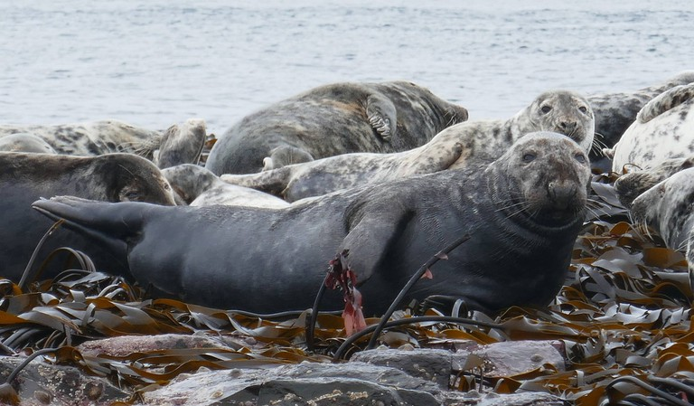 Grey seals on the Farne Islands