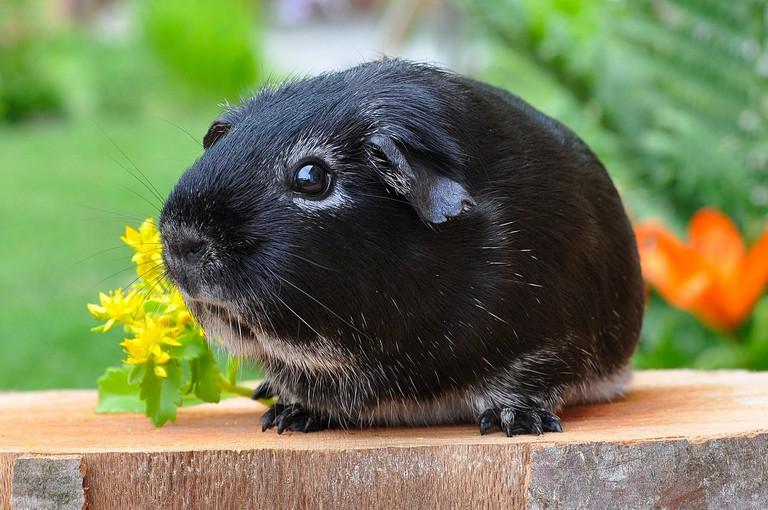 guinea-pig-500236_1920