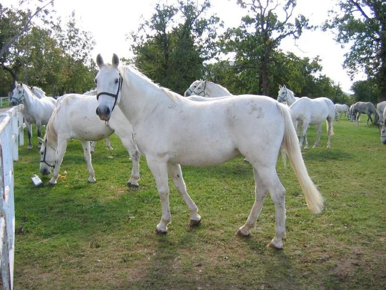 The Lipizzaner Horses