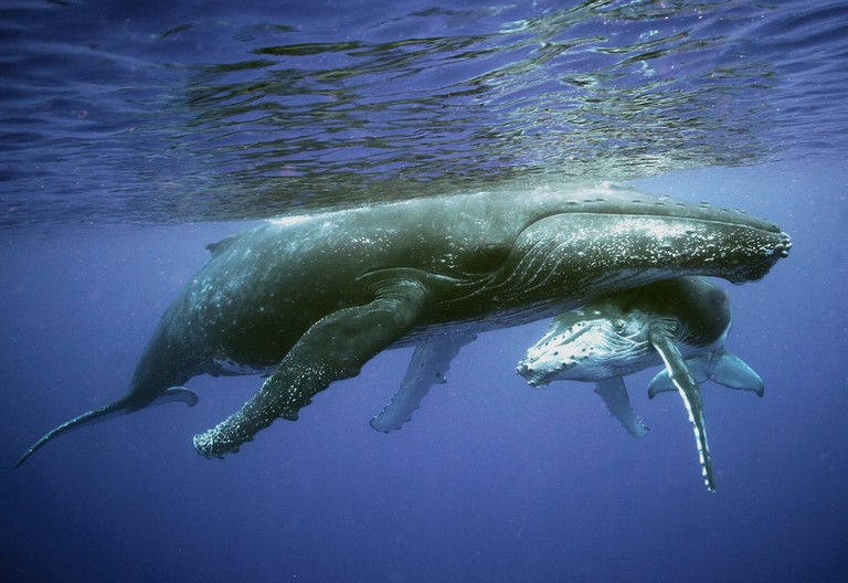 Humpback Whales in the Pacific