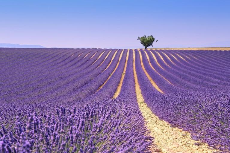 The traditional Provençal lavender fields