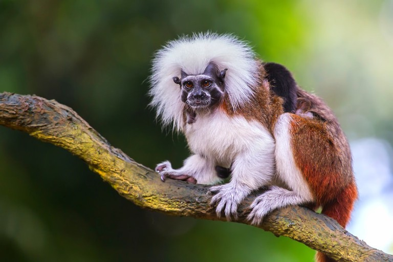 Cotton-top Tamarins are rare but seen easily in Tayrona