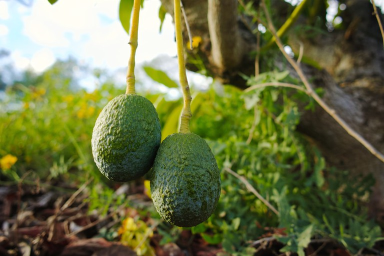 Avocados are under attack in Mexico