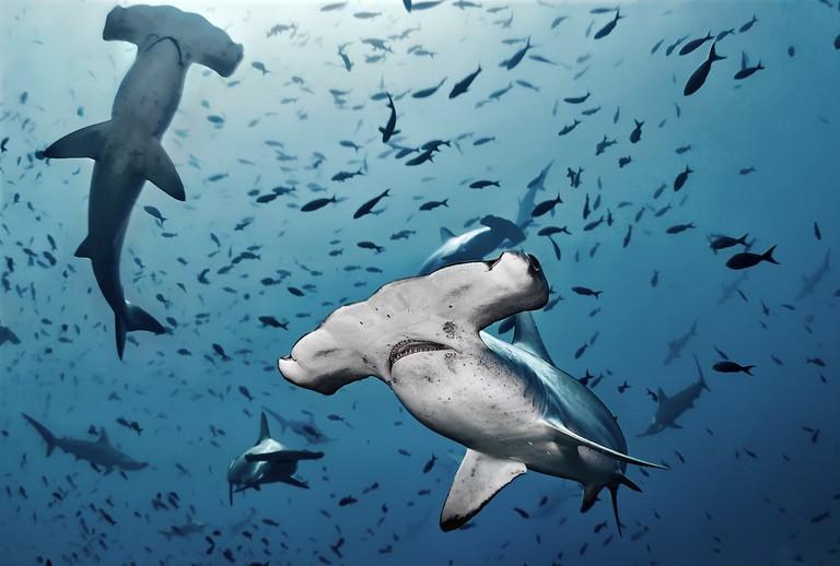 Hammerhead Sharks in the Pacific Ocean