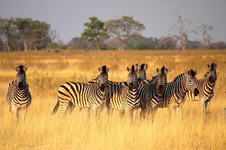 Zillions of zebras