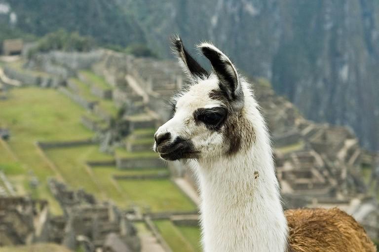 1024px-Llama_on_Machu_Picchu
