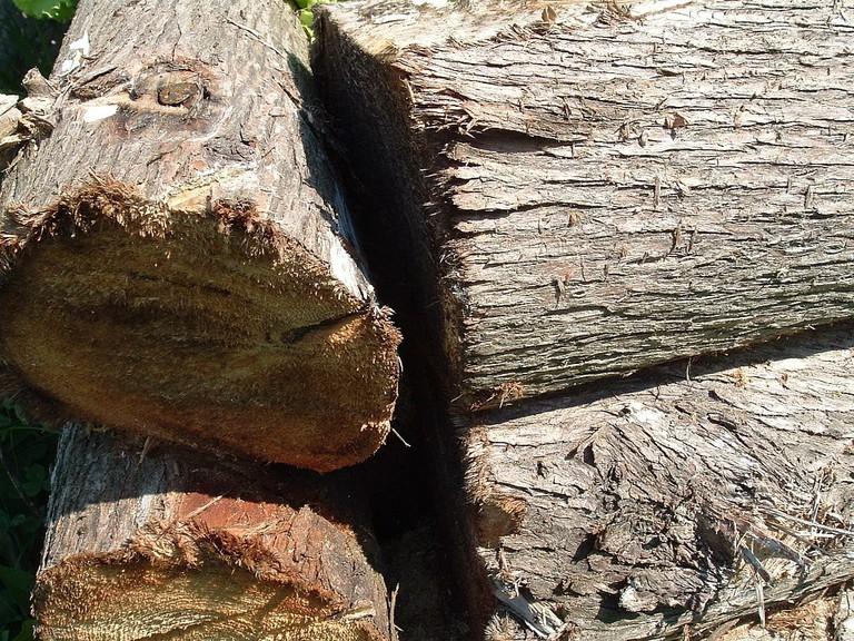 Thuya wood