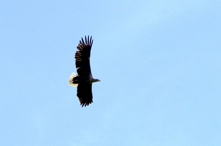 White-tailed eagle, Kopački rit | © kgyd/Flickr