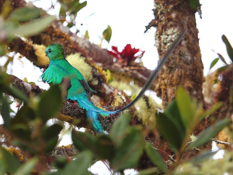Guatemala's national bird, the quetzal, is famous for its long tail