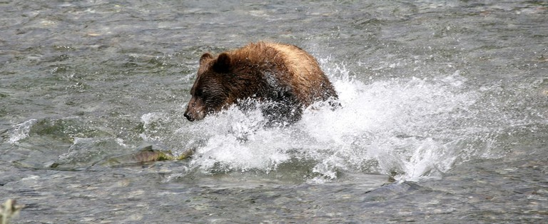 An Alaskan grizzly bear, which looks similar to the now-extinct California grizzly