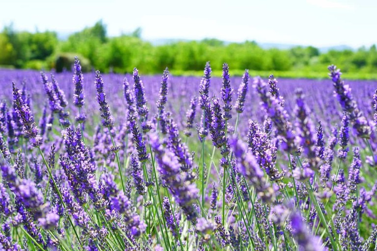 Beautiful purple lavender field