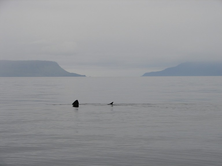 Basking Shark With Eigg And Rum In The Background