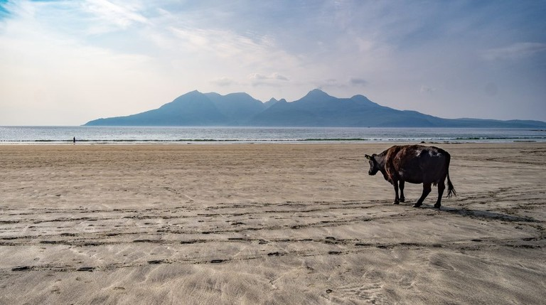 Cow and Rùm from Eigg