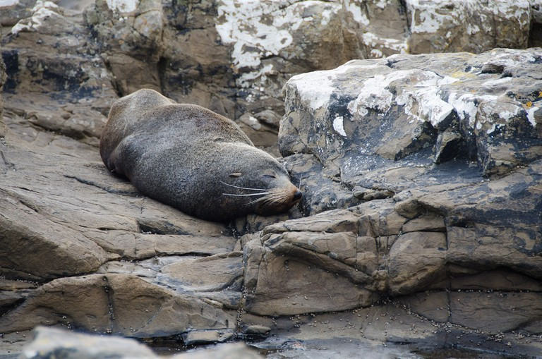 Sleepy seal in the Catlins