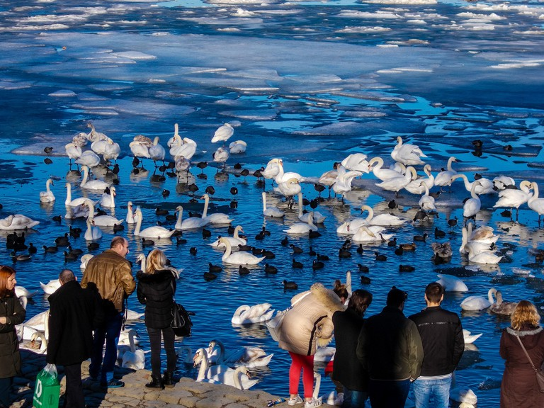 Feed the swans (don't anger them) in Zemun