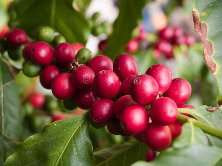 "Coffee ""cherries"""