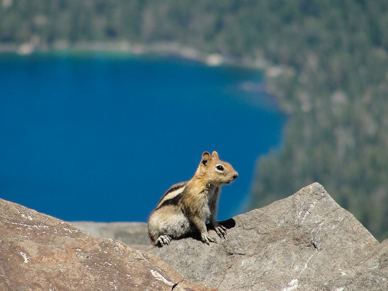 Golden-mantled ground squirrel (Spermophilus lateralis) Mount Tallac summit