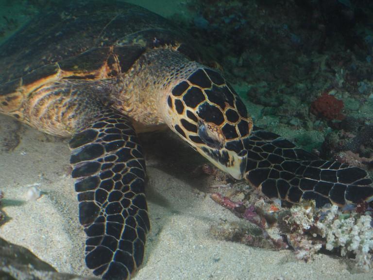 A turtle in the waters of Mafia Island