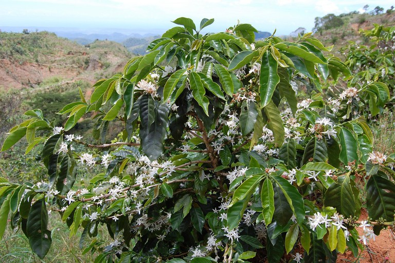 Coffee tree atop mountains of Maricao