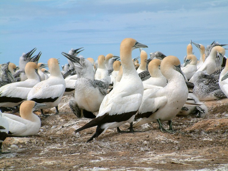 Cape Kidnappers gannet colony