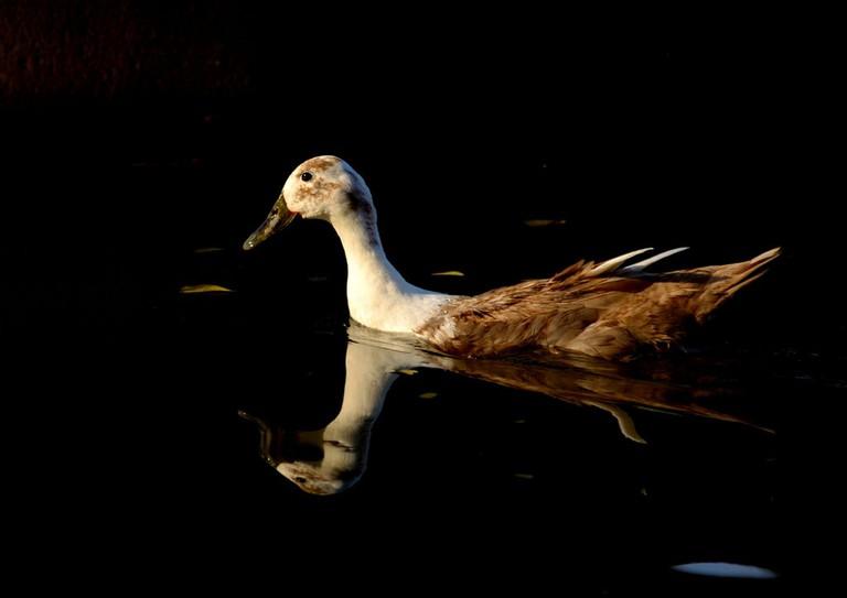 A duck at Semmozhi Poonga