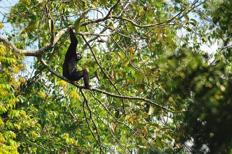 A gibbon monkey says hello