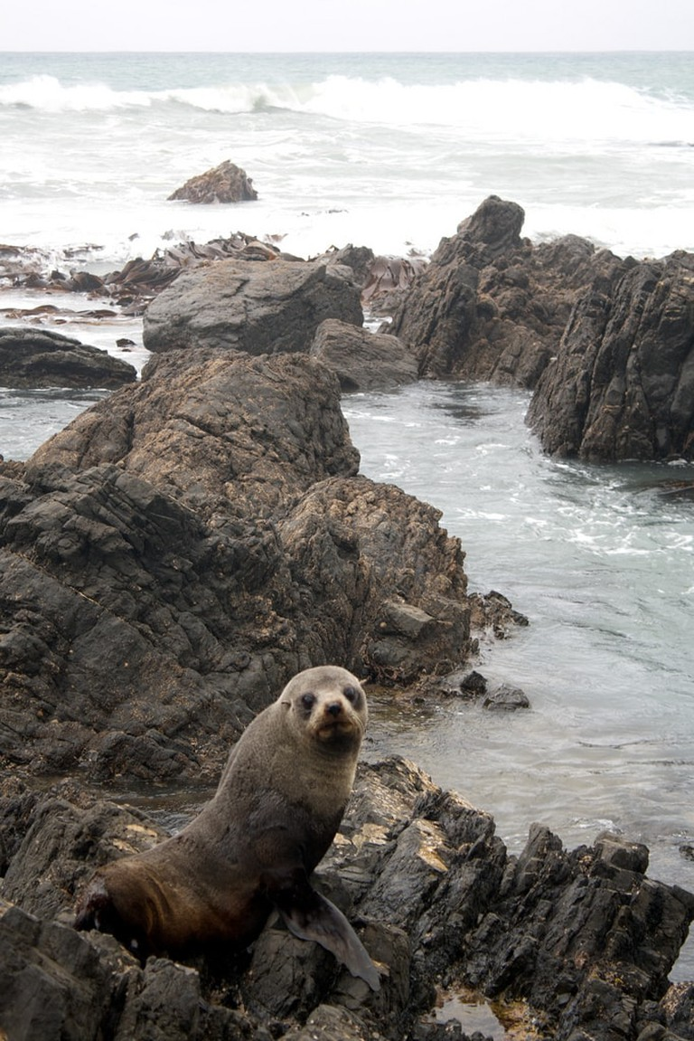 A Sealion at White Rock | © Pluies / Flickr
