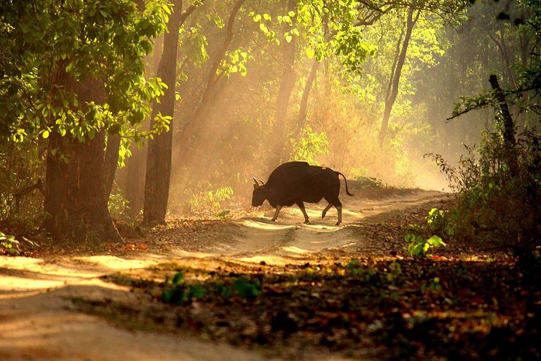 Indian Gaur (Alpha male) at Kanha National Park