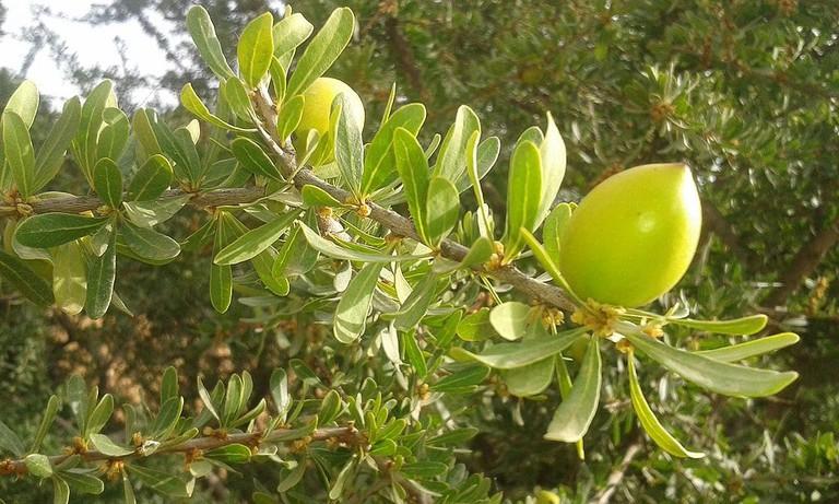 Fruit of the argan tree