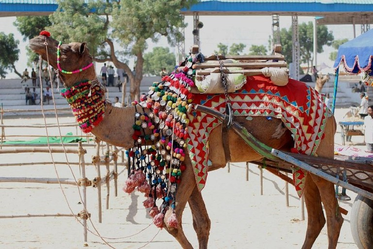 Pushkar festival is the largest camel fair in India