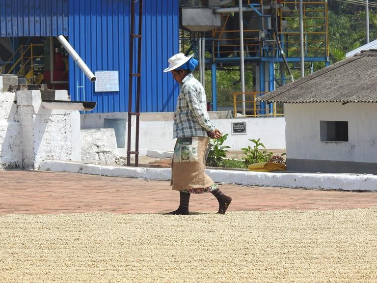 A woman coffee worker walks on the beans to ensure there is air circulation