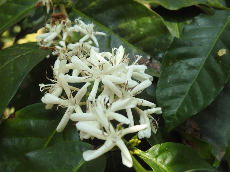 Coffee flowers blooming in an estate in Coorg, Karnataka