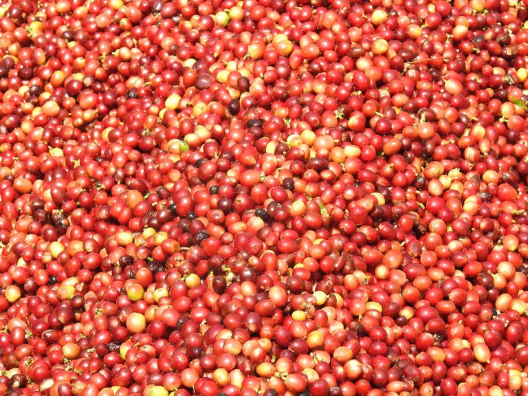 Coffee beans harvested and ready to be processed