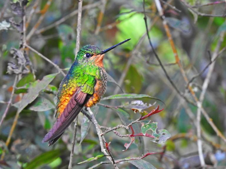 Rare hummingbird in Chicaque Park