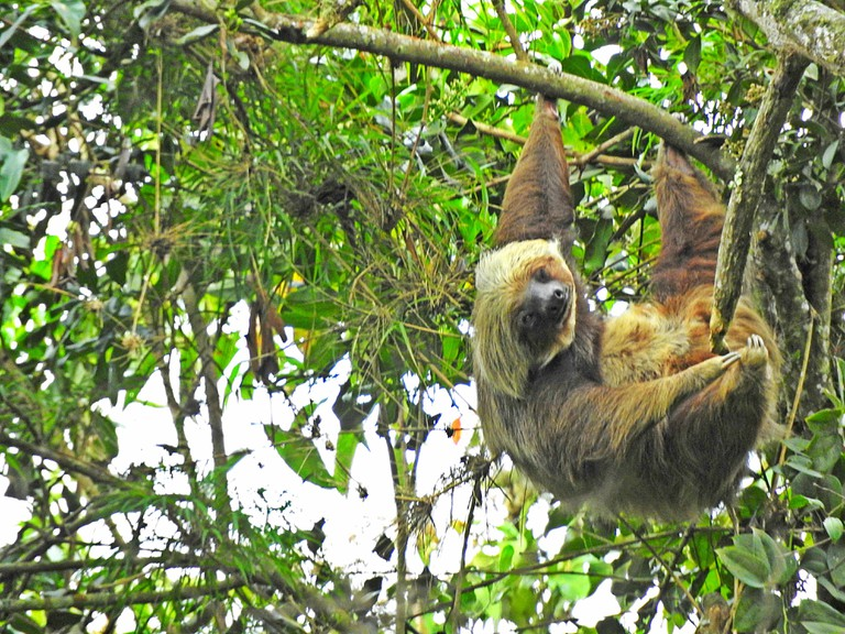 A rare view of a sloth in the park's forests
